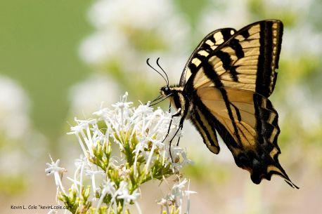 1280px-Papilio_rutulus_1
