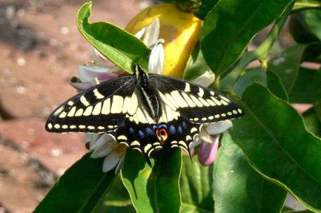 800px-Anise_Swallowtail