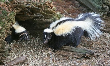 800px-Striped_Skunk