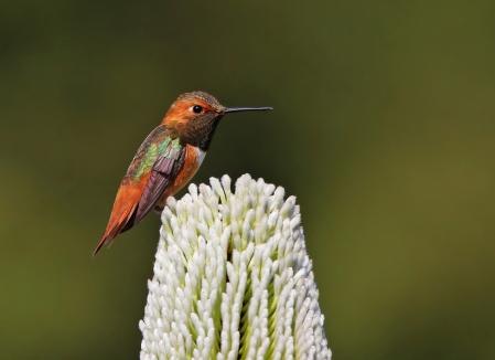 Allen's Hummingbird_Wikimedia_Shravans14