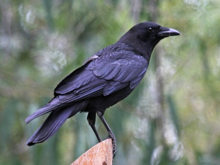 American Crow_Wikimedia_Dick_Daniels