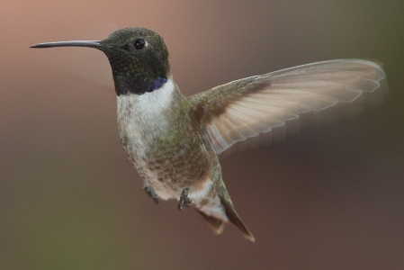 Black-chinned Hummingbird_Wikimedia_CC BY-SA 3.0