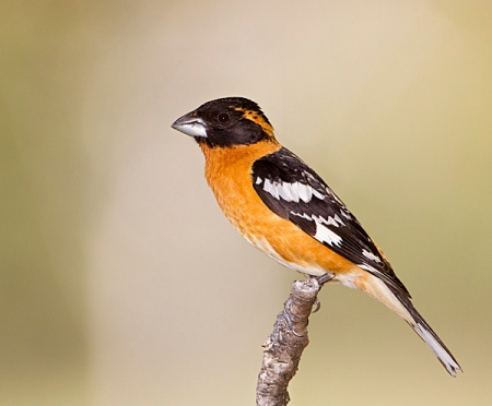 Black-headed Grosbeak_Wikimedia_Eleanor_Briccetti