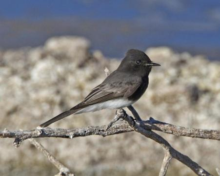 Black Phoebe_Flickr_Lip_Kee