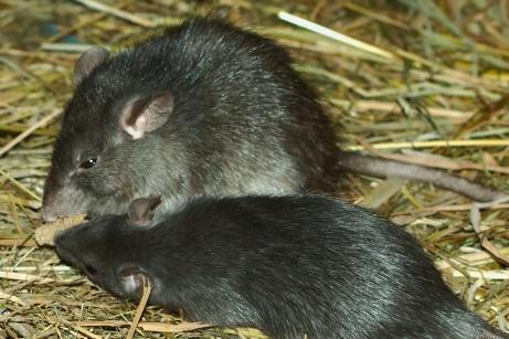 Black Rat_Wikimedia_Kilessan