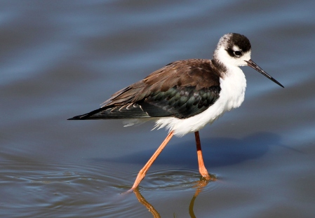 Black_Necked Stilt_Wikimedia_Wintertanager J.T. Storey