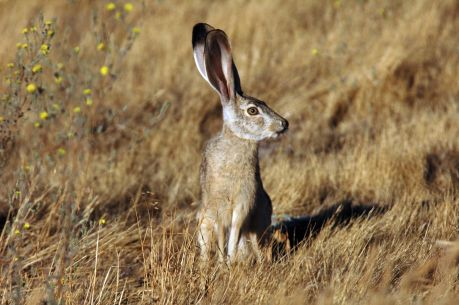 Black_tailed_Jackrabbit_Wikimedia_Scott Rheam_US FW
