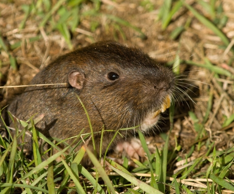 Botta's_Pocket_Gopher_Wikimedia_Chuck_Abbe