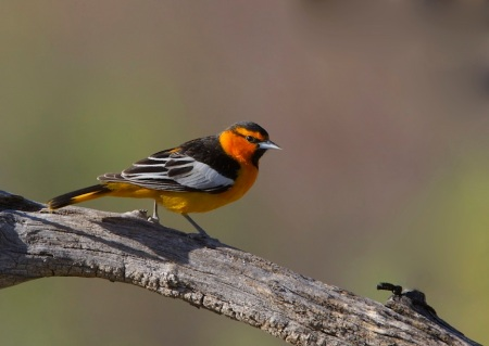 Bullocks Oriole_Wikimedia_Gregory_%22Slobirdr%22_Smith