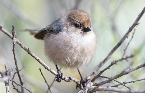 Bushtit_Flickr_Marshal_Hedin