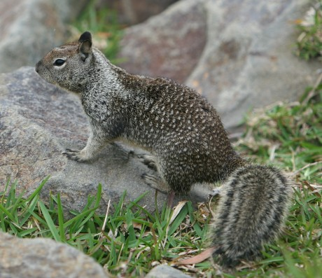 California Ground Squirrel_Wikimedia_Thomas_Obrien