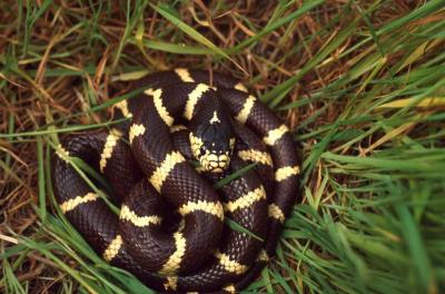 California Kingsnake_National Park Service
