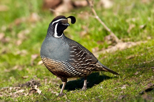 California Quail_Flickr_Anita_Ritenour
