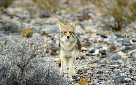 California_Death_Valley_Coyote