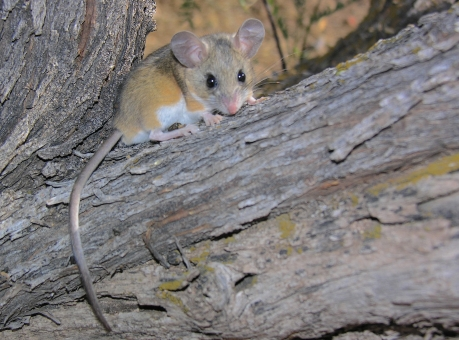 Deer Mouse_Wikimedia_Gregory Slobirdr Smith