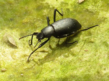 Desert_Stink_Beetle_-_Flickr_-_treegrow