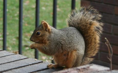 Eastern Fox Squirrel_Flickr_Jeffrey_Beall