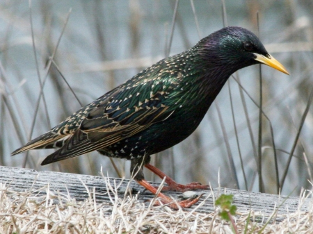 European Starling_Wikimedia_Dick_Daniels