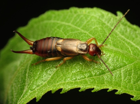 European_Earwig_-_Flickr_-_treegrow_(1)-2