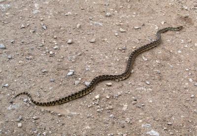 Gopher Snake_Flickr_Brewbooks
