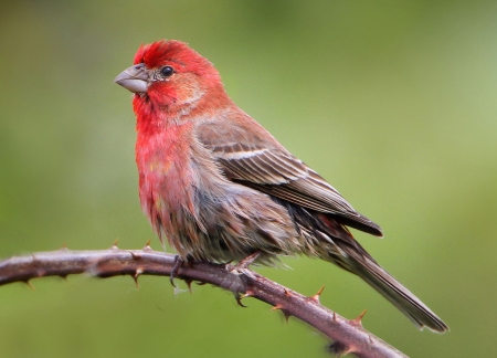 House Finch_Wikimedia_Nigel