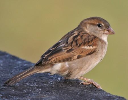 House Sparrow_Wikimedia_JM Garg