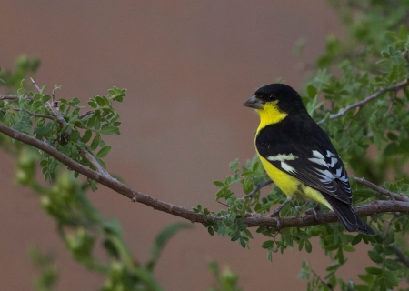Lesser Goldfinch_Flickr_Gregory_%22Slobirdr%22_Smith