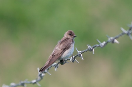 Northern Rough-winged Swallow_Wikimedia_Dori