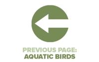 Previous Page Aquatic Birds