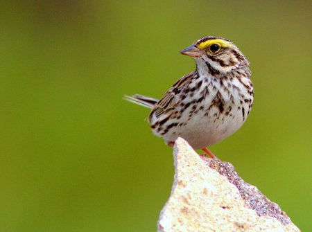 Savannah Sparrow_Flickr_Kenneth_Cole_Schneider