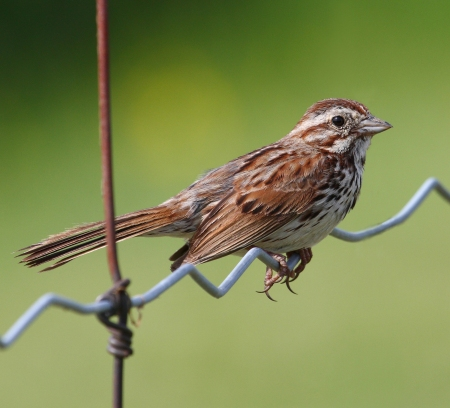 Song Sparrow_Wikimedia_Simon_Pierre_Barrette