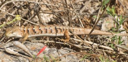 Southern Alligator_Wikimedia_Jerry_Kirkhart