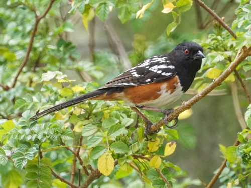 Spotted Towhee_Flickr_MikesBirds