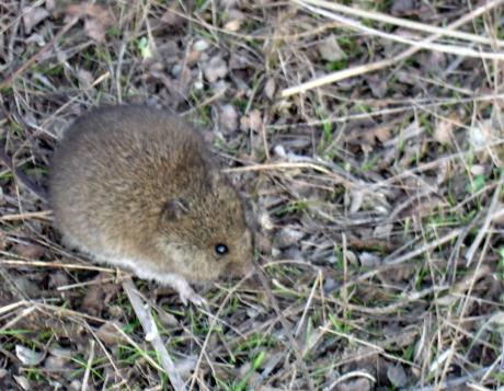 Western Harvest Mouse_Wikimedia_C. Michael Hogan
