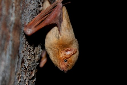 Western Yellow Bat_iNaturalist_Juan_Cruzado