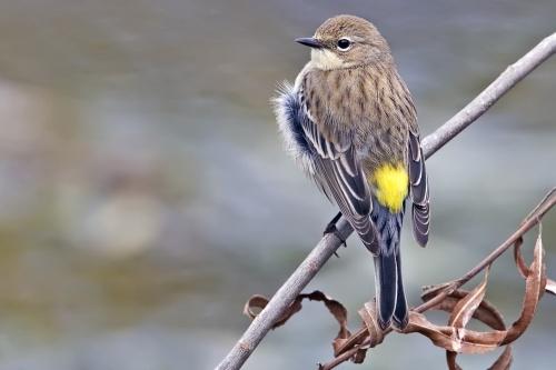 YellowRumpedWarbler_Wikimedia_Alan_D_Wilson