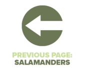Previous Page Salamanders